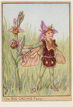 Cicely M Barker Fairies of the wayside ill 9 the bee orchids fairy 1948 | Flickr - Photo Sharing!