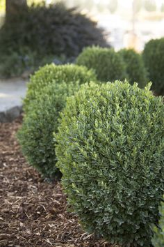 Petite Pillar™ Dwarf Boxwood is an exceptional new dwarf boxwood with a natural columnar form. Perfect for creating a hedge or accent in tight spaces, requiring little to no pruning to keep its neat shape. Lustrous, evergreen foliage is easily clipped int Dwarf Boxwood, Dwarf Shrubs, Dwarf Plants, Boxwood Garden, Garden Shrubs, Shade Garden, Dwarf English Boxwood, Boxwood Hedge, Shrubs For Landscaping