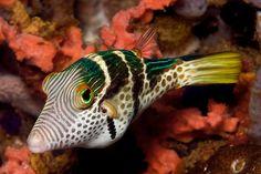 Sattel- Spitzkopfkugelfisch