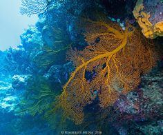 Gorgonian fan coral in a cave on Mermaid Reef at the Rowley Shoals