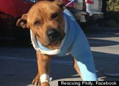 "Rescuing and Saving Philly-""Abandoned on a Los Angeles sidewalk for five hours after being hit by a car, a pitbull named Philly was near death when three LAPD officers found him. Noticing that his tail was still moving -- if only slightly -- the cops rushed the dog to the emergency room of a local animal hospital, hoping to save his life."" Bless the 3 wonderful women and officers of the law who saved this sweet soul. ♥"