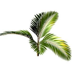 R11 - Palms - 2013 - 3 - 016.png ❤ liked on Polyvore featuring plants, flowers, greenery, nature and tree