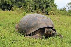 One of the longest-lived of all vertebrates, the enormous Galapagos giant tortoise can live for over 150 years!