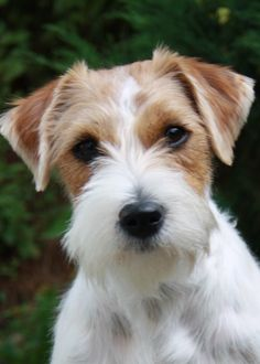 Rough-haired Jack Russell Terrier ....