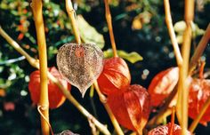 5 Common Plants You Didn't Know Were Poisonous: Chinese Lantern Plant, Strawberry Ground Cherry (Physalis alkekengi)
