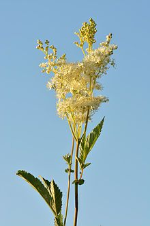 Meadowsweet (Filipendula ulmaria). Used to flavor wine, beer, vinegars, Contains salicylic acid, was synthesized to produce aspirin. Used to treat colds, respiratory problems, acid indigestion, peptic ulcers, arthritis and rheumatism, skin diseases, and diarrhea.