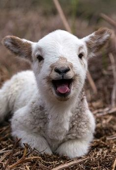 Here's a very happy Christmas lamb :)