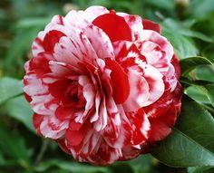 Camellia japonica 'Tudor Baby Var '