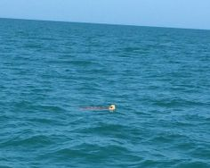 Sea Turtle, 4-12-14, Sanibel, Captiva & Fort Myers Fishing Reports & Charters.