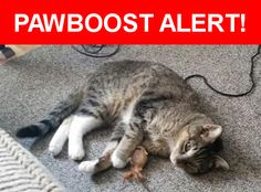 Is this your lost pet? Found in Corpus Christi, TX 78413. Please spread the word so we can find the owner!  Black/gray and white tabby, tan markings, white front feet and back legs, blue/green eyes  Nearest Address: Everhart & Saratoga Blvd