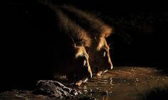 Two of the dominant males in the northern Timbavati paused at a mudwallow to drink after having feasted on a buffalo kill. I used a spotlight to illuminate them as they drank in sync. Photographer: Chad Cocking
