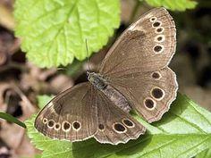 Kirjopapurikko, Pararge achine (Lopinga achine) - Perhoset - LuontoPortti