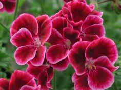 Pelargonium Jerrey