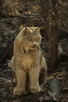 Look at the HUGE paws on this beautiful lynx !