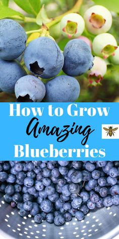 to Grow Amazing Blueberries Blueberries growing in your backyard will provide you with years of nutrition-packed fruit!Blueberries growing in your backyard will provide you with years of nutrition-packed fruit! Blueberry Plant, Blueberry Bushes, Fruit Bushes, Organic Vegetables, Fruits And Veggies, Organic Herbs, Fruit Garden, Flowers Garden, Flower Gardening