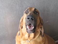 HANK HILL is an #adoptable Bloodhound Dog in #AppleValley, #CALIFORNIA. PLEASE read entire note: Due to a donation from the Dorothy Thomas Trust all dog adoptions have been sposored by $35 off the regular price...