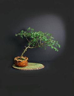 Sea Grape Bonsai Tree Fall17 Love For Salt Collection From Live