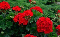 Sardunya Geranium Flower, Citronella, Flowers, Plants, Geraniums, Plant, Royal Icing Flowers, Flower, Lemon Grass