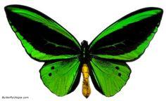 The green birdwing