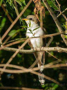 Yellow-billed Cuckoo (Coccyzus americanus) - That Evasive, Nutty Bird! | Show Me Nature Photography
