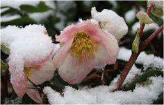 elleboro: rosa di natale