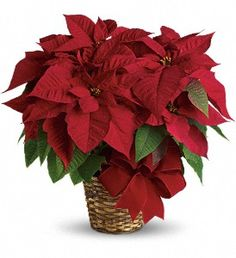 red poinsettia  at christmasflowersonline.com