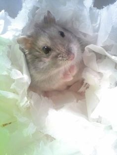 Hi !! This is my hamster Nelson... I love it <3