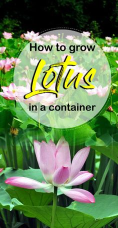 How to grow Lotus plant in a container | Growing and care Lotus