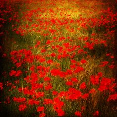 Up-close and personal to Monet - Poppies More
