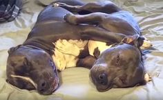 Daily Cute: Napping Pit Bull Pals Love To Cuddle | Care2 Causes