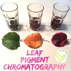🍁 I am loving all of the STEM activities that come with the new fall season. As the leaves start changing, grab some different colors for a fun science experiment— leaf chromatography! I snagged all the colored leaves from the same tree! My kids were so excited to see the outcome. Chromatography For Kids, Provence Garden, Egg Drop, Cool Science Experiments, Fall Is Here, French Countryside, Pumpkin Spice Latte, Stem Activities, Happy Fall