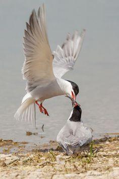 Sterna hirundo (Common Tern)