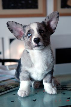 This Pembroke Welsh Corgi puppy is smiling for the camera.