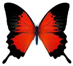 Black and Red Butterfly Butterfly Clip Art, Butterfly Drawing, Butterfly Pictures, Red Butterfly, Butterfly Painting, Butterfly Watercolor, Butterfly Wallpaper, Art Papillon, Blue Morpho
