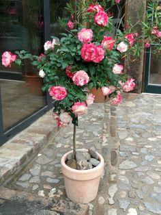 Burghof Kessenich, unsere schönste Rose!