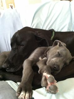Great Dane Brother Snuggles