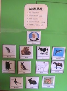 I had the idea to design this wall chart while my daughter, Samira was learning about Animal Classification. She made her Animal Classification Lapbook a couple of months ago and I thought this wal...
