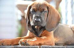 Bavarian Mountain Hound #Dogs #Puppy Braque Du Bourbonnais, Free Dogs, Hound Dog, Barbarian, Dog Names, Sherlock, Animals And Pets, Dog Breeds, Mountain