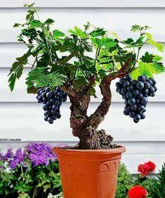 [Visit to Buy] 50 grape seeds mini bonsai Grape Vine Seeds - Vitis Vinifera fruit seeds for home garden plant Plantas Bonsai, Bonsai Seeds, Tree Seeds, Planting Succulents, Planting Flowers, Succulent Plants, Fruit Plants, Bonsai Fruit Tree, Dwarf Fruit Trees