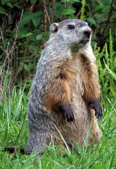 woodchuck - also known as a  groundhog (marmota monax)