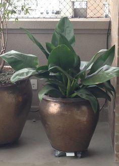 Pacova - Philodendron martianum