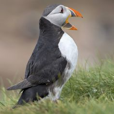 'Tommy Noddy' Puffins are also known as the 'sea parrot'. On The Farne Islands, its local name is 'Tommy Noddy'. RayMorris1 ¤ Macareux moine...