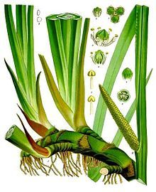 Kalmoes - Wikipedia- voor de kruidenbitters