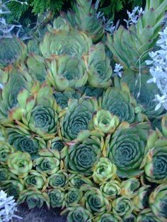 Hens and Chicks. Love the color of this plant.
