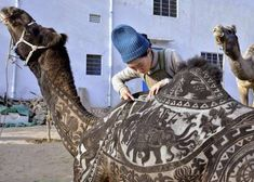 The Japanese hairdresser Megumi Takeichi cuts patterns into the hair of a camel ahead of the Bikaner Camel Festival in Bikaner in the western Indian state of Rajasthan on January Credit: Dinesh Gupta / AFP / Getty Bizarre Pictures, Funny Pictures, N Animals, Belly Dancers, Longhorns, Cool Haircuts, Photos Of The Week, India, Esquire
