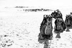 Camels on the Beach Animals Black And White, Bay Photo, Camels, Newcastle, Black And White Photography, Australia, Paintings, Landscape, Gallery