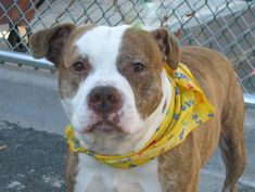 """~~ DESTROYED 10/31/13 ~~ Brooklyn Center~JAY~ID #A0982507 Male br brindle & white pit bull mix. 4 YEARS old.  SEIZED 10/19/13.  Jay was tense during handling, but had soft body language. He was calm & relaxed when following the assessor on leash for """"tag"""". Some guarding w/ food / bone/toy tests-retrainable.  He rushed in quickly during the dog-dog test, but showed no aggression. Jay may have never known good direction or care in his life. Let's change that starting today."""
