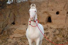 white Marwari stallion from India Campolina, Rare Horse Breeds, Marwari Horses, Rare Horses, Horse Ears, Horses For Sale, White Horses, Beautiful Horses, Pretty Horses