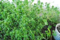 Home And Garden, Herbs, Spring, Gardening, Sun, Plant, Lawn And Garden, Herb, Spice