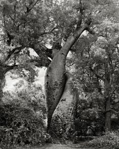 Ancient Trees: Portraits of Time by photographer Beth Moon The Lovers. Baobab, Morondava, Madagascar, Possibly 800 years old. Local legend tells of a love story with an unfortunate beginning that finally resolves itself with this embracing pair, boun Le Baobab, Baobab Tree, Tree Woman, Old Trees, Unique Trees, Tree Photography, Big Tree, Giant Tree, Nature Tree